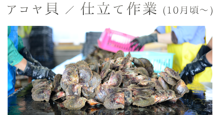 アコヤ貝/仕立て作業1